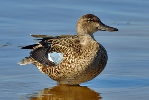 blue_winged_teal_7