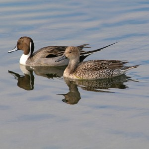 northern-pintail-pair-1